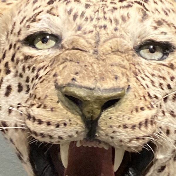 Tiger statt Leo PLATZHALTER